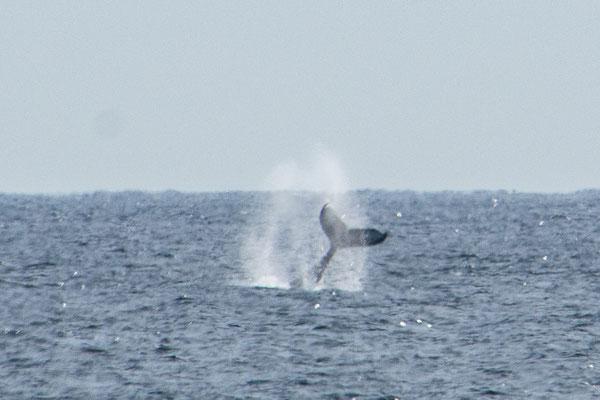 Auch vom Uferaus lassen sich Buckelwale beobachten