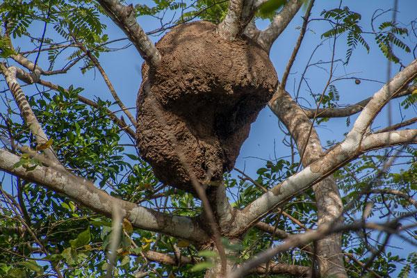 Riesiges Ameisennest in den Bäumen