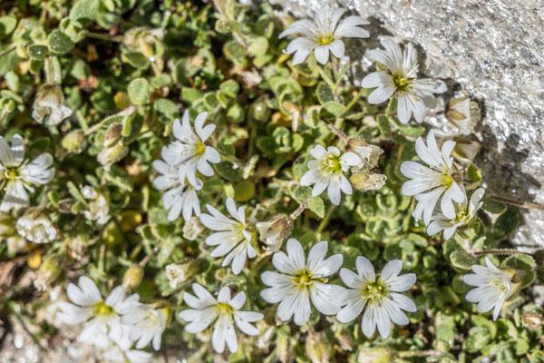 Die letzten Blumen des Bergsommers