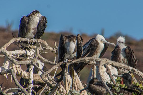 Fregattvogelkolonie