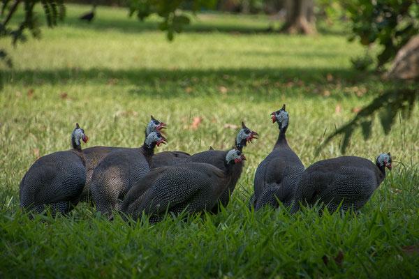 Unsere Nachbarn die Perlhühner