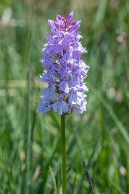 Knabenkraut Orchidee, Wanderung Mettelimoos