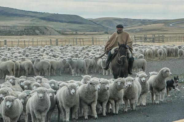 El Gaucho treibt seine Schafe zusammen