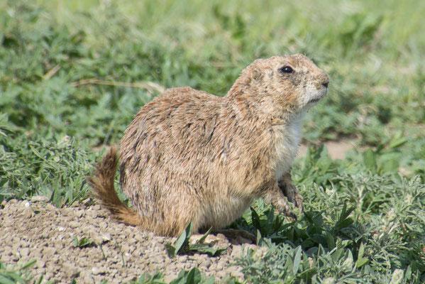Prairie Dog, von denen gibt es einige hier in South Dakota