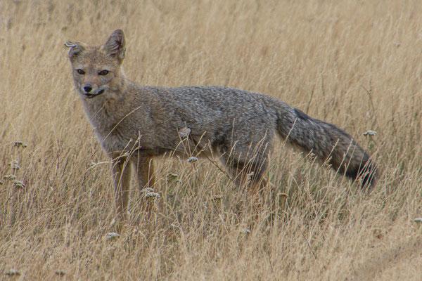 Neugieriger Fuchs an der Grenze