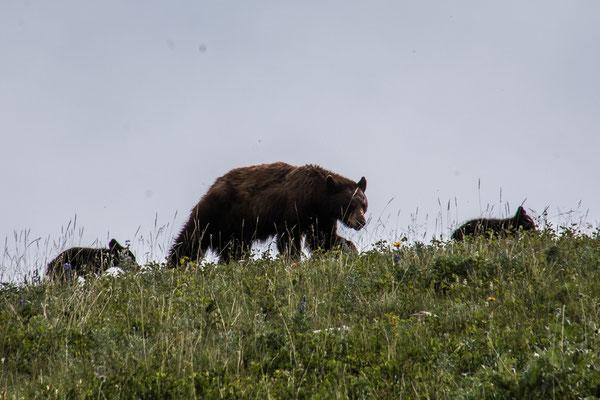 Mama Schwarzbär mit ihren zwei Jungen