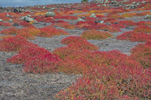 Die roten Korallenbüsche
