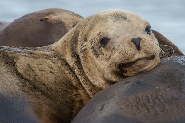 Seelöwen und Robben dicht an dicht