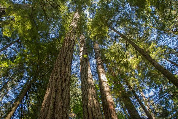 Cathedral Grove, riesige, alte Bäume