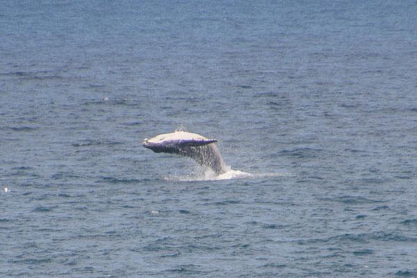 Buckelwal aus der Ferne
