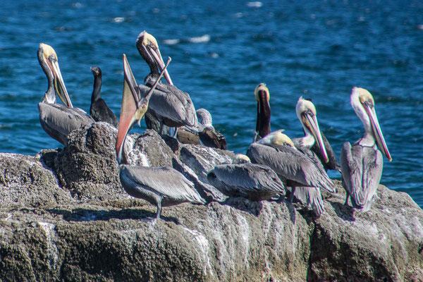 Pelikane, immer wieder