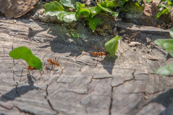 Blattschneider Ameisen bei der Arbeit