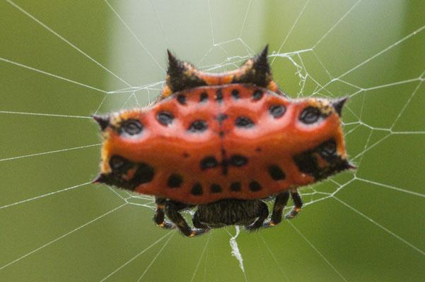 Wieder einmal ein exotischer Nachbar im Camp. Diesmal eine Spinne wie wir sie noch nie gesehen haben