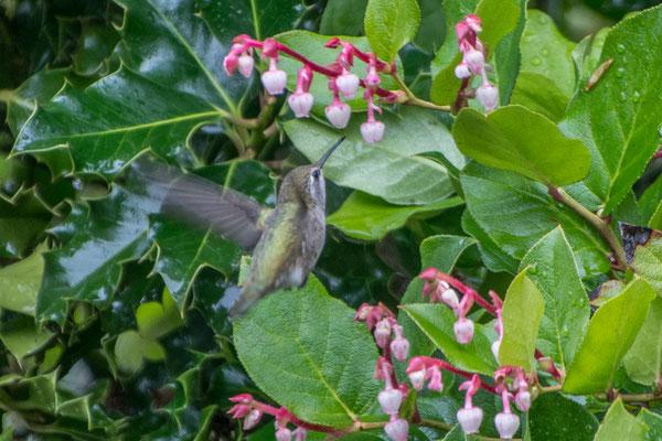 Welche Überraschung: Ein Kolibri in Oregon