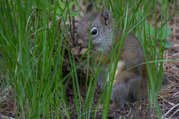 Eichhörnchen sieht man fast überall