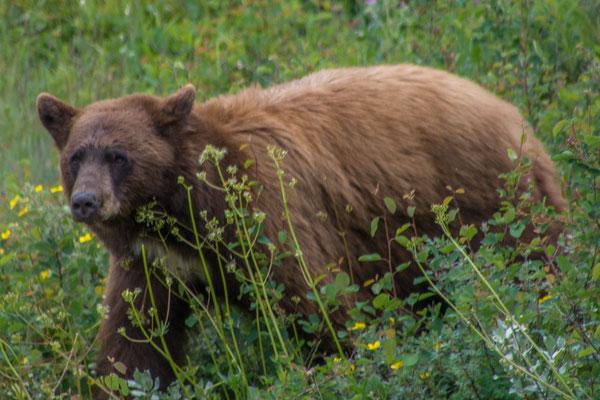 Bis jetzt hatten wir das Glück schon einige Bären zu sehen
