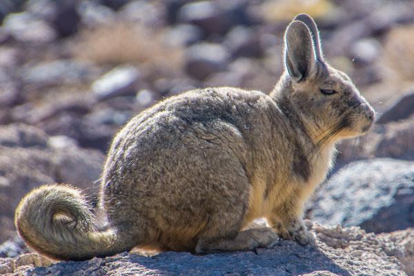 Ein Viscacha, ein viel gesehenes Tier an der Lagunenroute