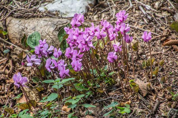 Alpenveilchen, Una National Park