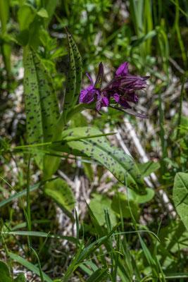 Knabenkraut (Orchidee)