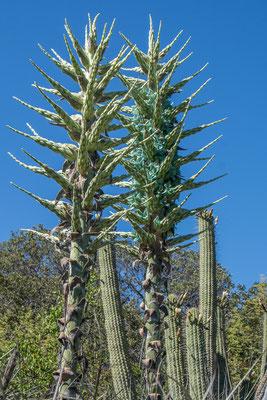 Blühende Yucca