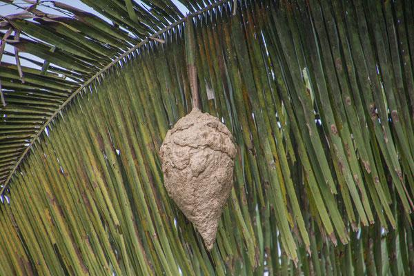 Ameisennest am Palmenblatt