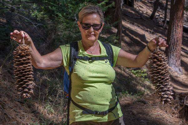 Die riesigen Zapfen der Sugar Pine