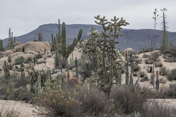 Zentrale Baja mit ihren herrlichen Kakteen