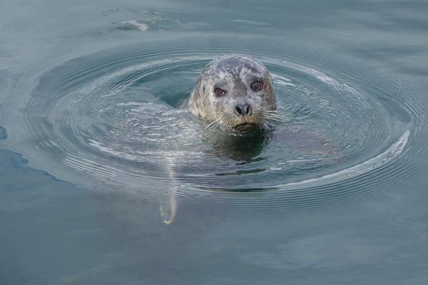 Zutrauliche Harbour Seal