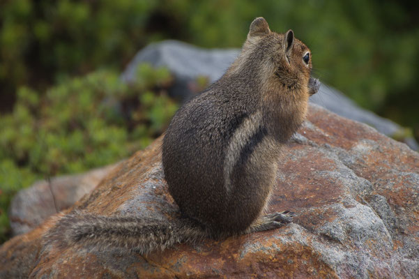 Columbia Grund Squirrel