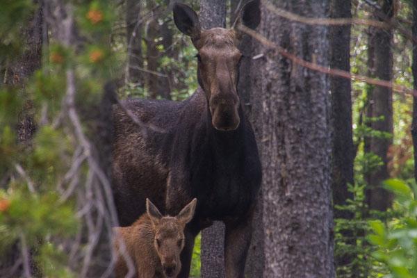 Mama Moose und Baby Moose zu Besuch im Campground