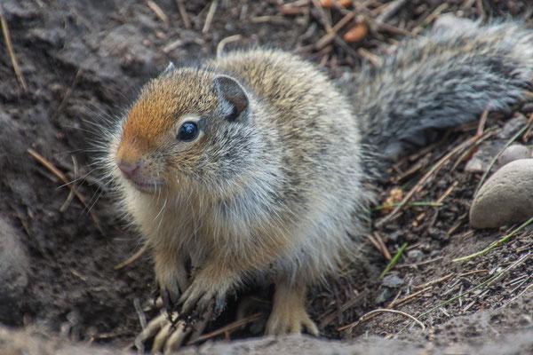 Nachbarn, Groundsquirrel