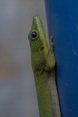 Einer unserer Freunde, der Gecko
