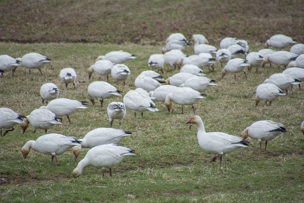 Snow oder Blue Geese