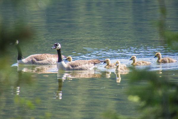 Canada Gans Familie