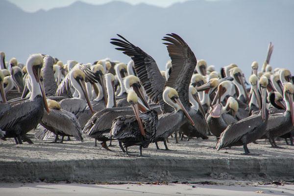 Vogelinsel in der Bahia Magdalena mit Hunderten von Pelikanen