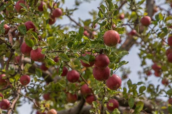 Apfelernte steht bevor