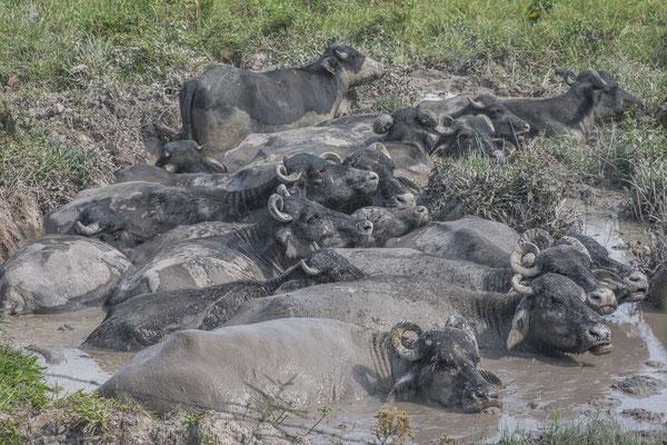 Wasserbüffel beim Abkühlen
