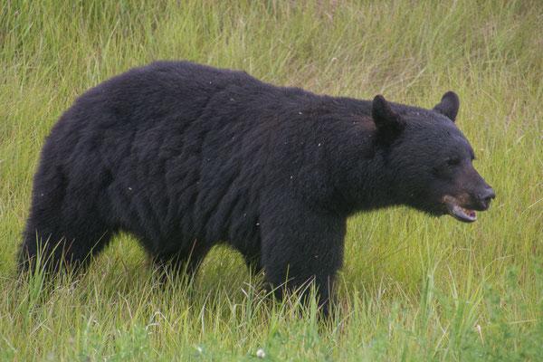 Schwarzbär beim Grasen, ja die fressen viel Grünzeug und nicht Menschen
