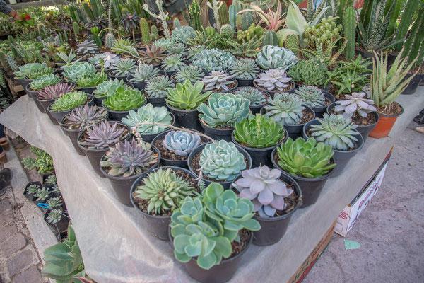 Am Pflanzenmarkt im Parque Benito Juarez