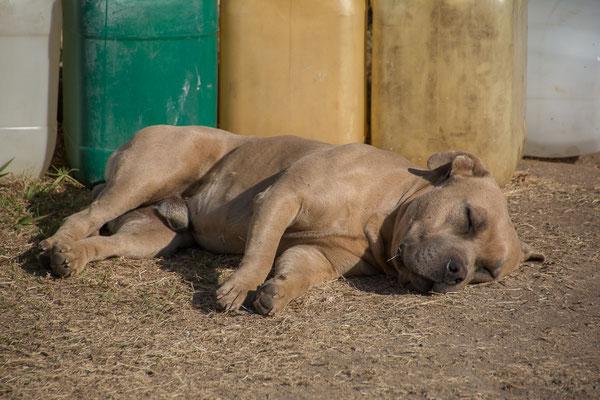 Mexikanische Kampfhunde