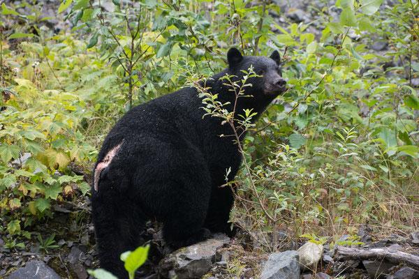 Dieser Schwarzbär hat wohl einen Machtkampf verloren