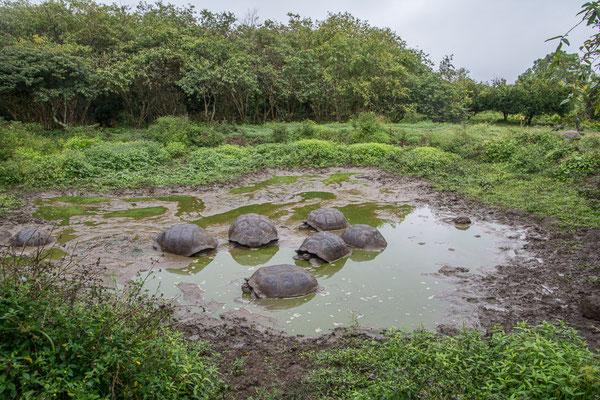 Riesenschildkröten werden bis 200 Jahre alt
