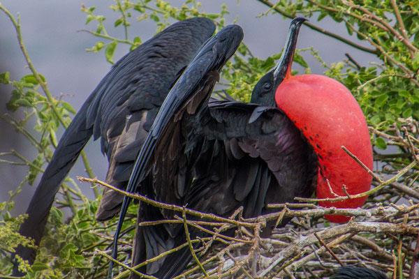 Männlicher Fregattvogel beim BAlzen