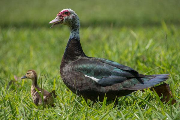 Unsere Nachbarn, Frau Ente mit Jungen
