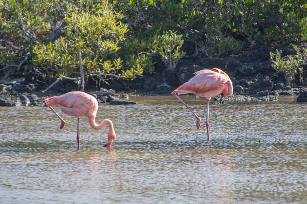 Flamingo, insgesamt 450 Exemplare leben auf den Inseln