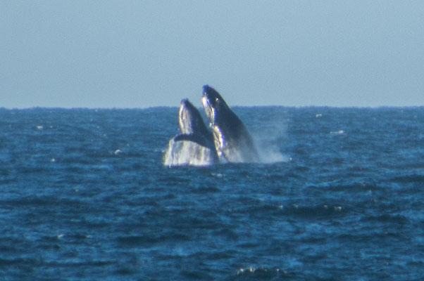 Synchronspringen der Buckelwale, direkt vor unserer Haustür