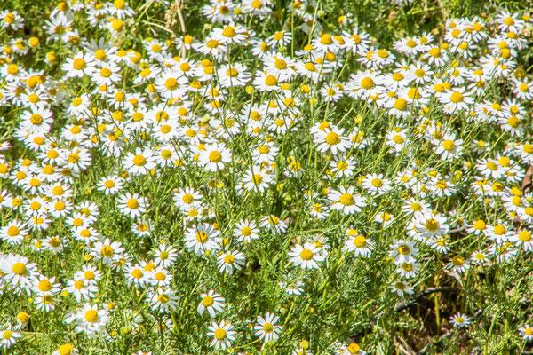 Überall Blumen, der Frühling kommt