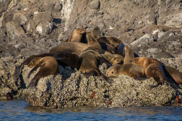 Eine letzte Kolonie Seelöwen auf dem Weg zurück