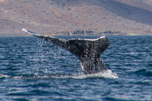 Einer der Grauwale zeigt uns seinen Schwanz