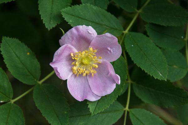Wild Rose, das Wahrzeichen Alberta's